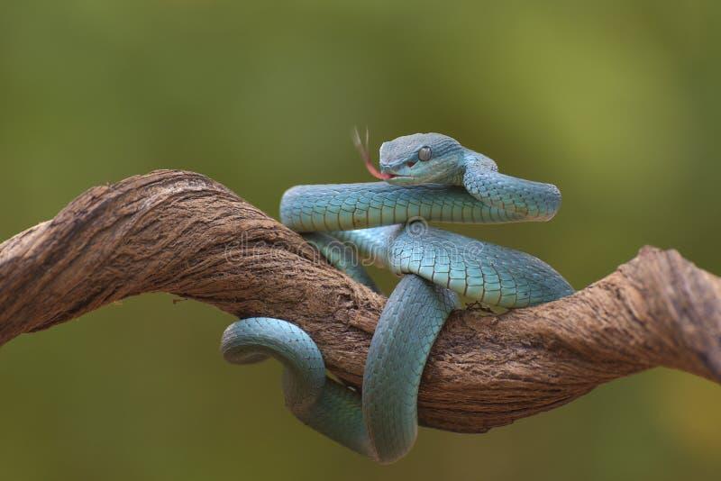 Trimesurus insularis também conhecida como víbora azul imagens de stock royalty free