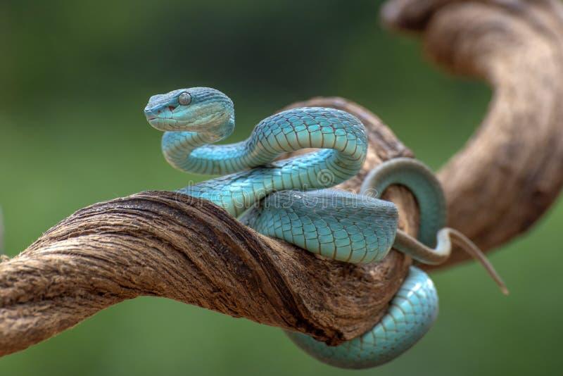 Trimesurus insularis também conhecida como víbora azul fotografia de stock royalty free