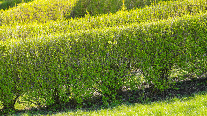 Trimmed bushes background royalty free stock photo