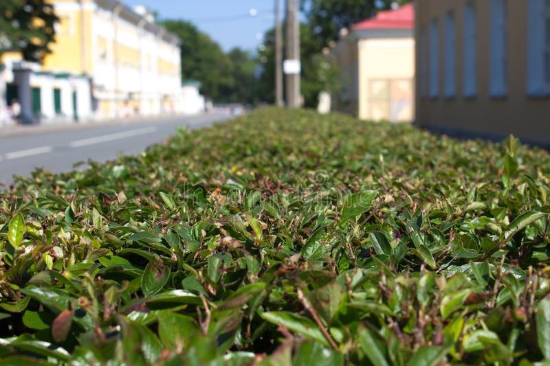 Trimmed bushes in the city stock photos