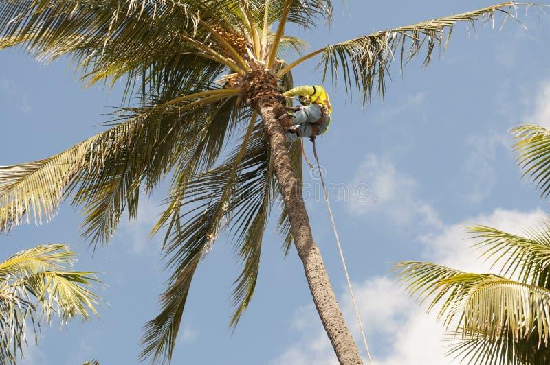 Trimmer de palmier photos libres de droits