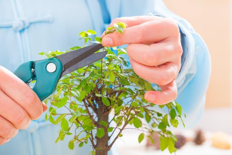 Trimming bonsai tree stock photography