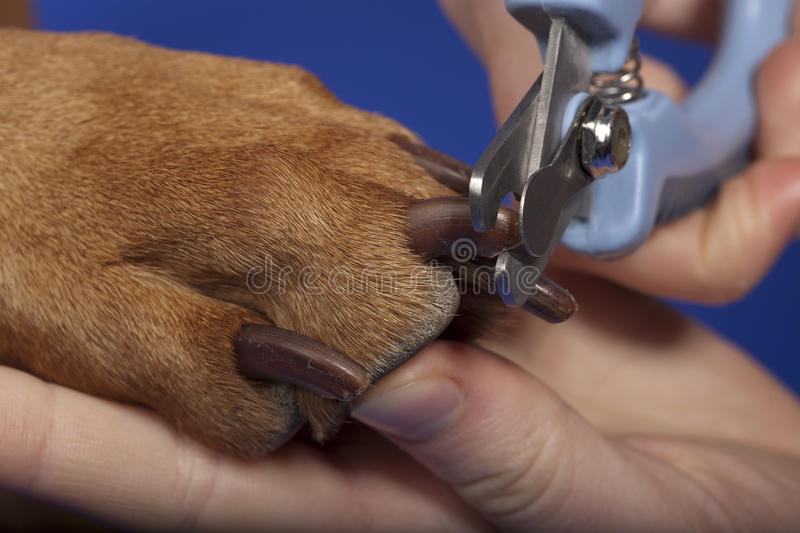Trimming dog nails stock photography