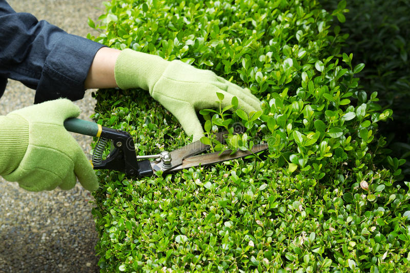 Trimming Hedges with Manual Shears. Horizontal photo of hands, wearing gloves, trimming hedges with manual shears stock image