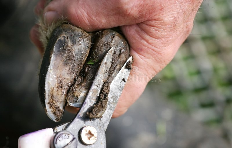 Trimming a Sheep's hoof stock images