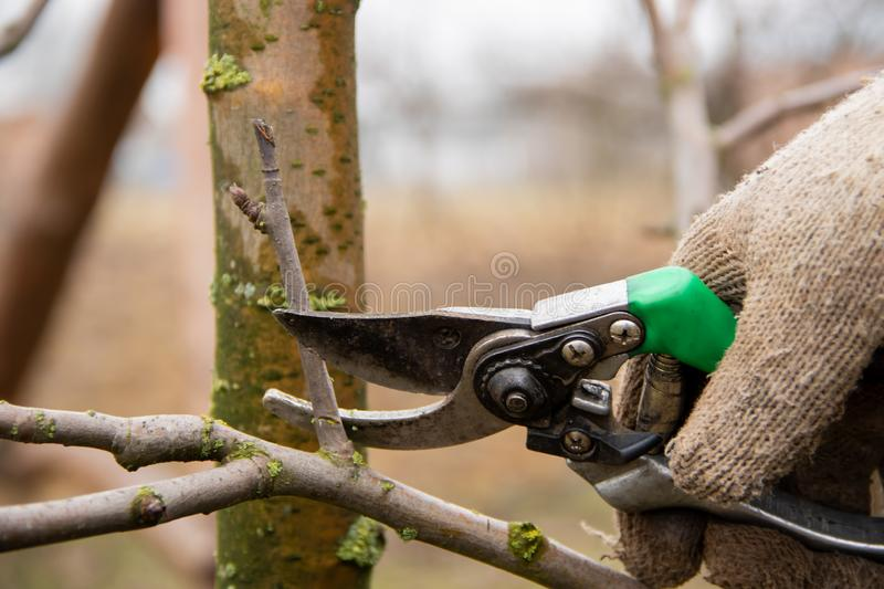 Trimming the tree branches with scissors. Spring work in the garden. The gardener is looking after the trees royalty free stock photos
