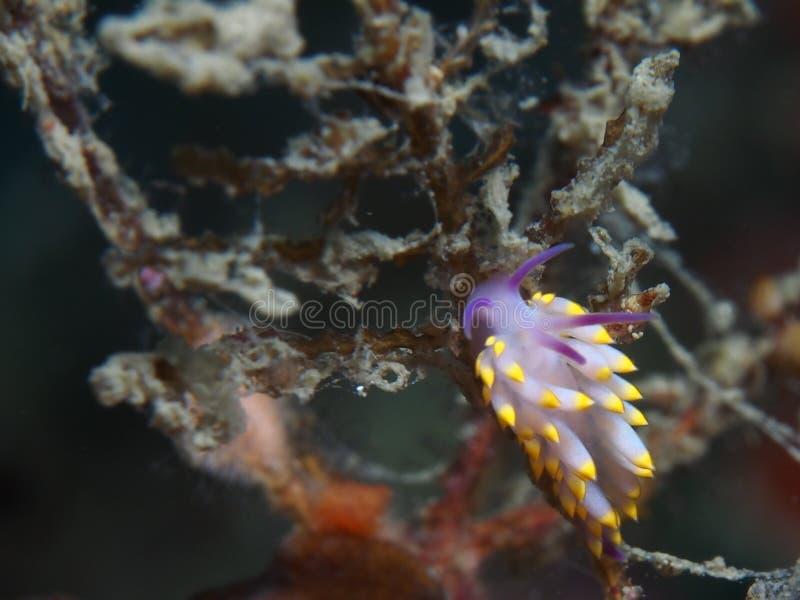 Trinchesia sibogae stock photo
