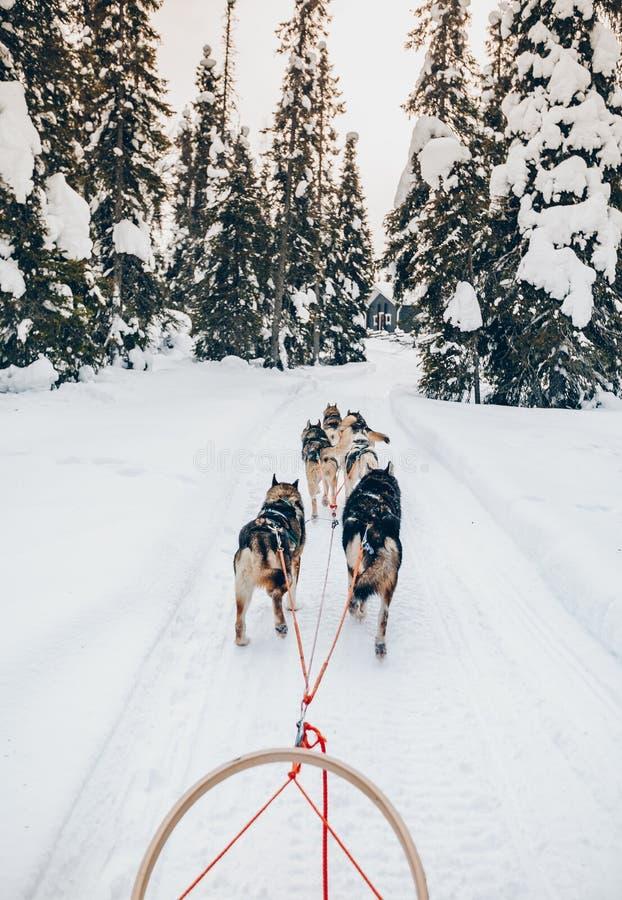 Trineo de perros fornido que monta en bosque del invierno de la nieve en Finlandia, Laponia imagen de archivo libre de regalías