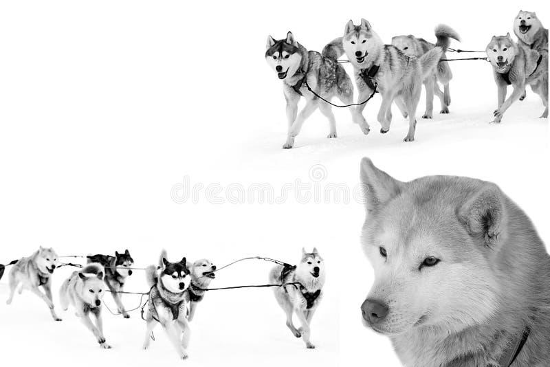Trineo fornido del perro funcionado con en arnés en nieve foto de archivo