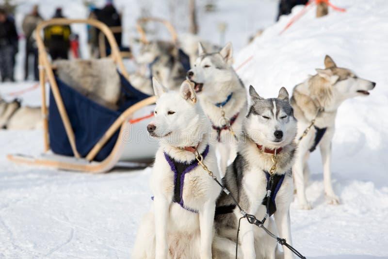 Trineo-perros fornidos