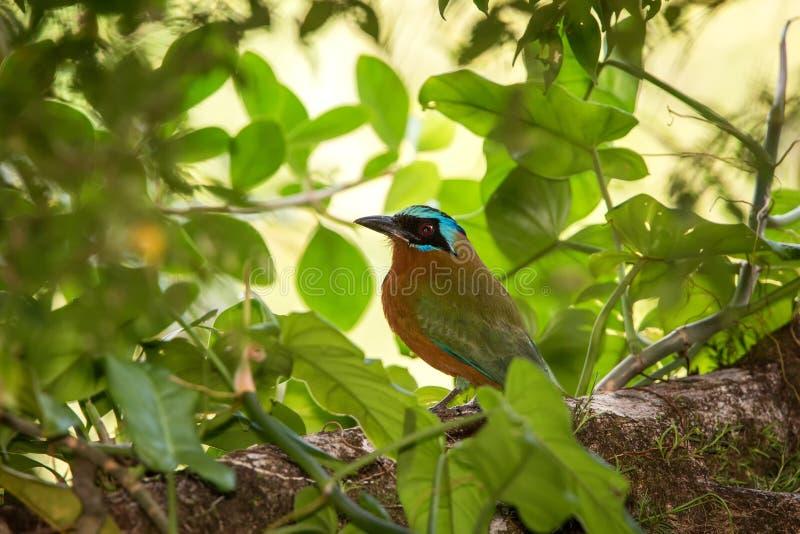 Trinidad Motmot, bahamensis de Momotus, se reposant sur la branche dans l'habitat tropical de forêt Végétation verte à l'arrière- photos stock