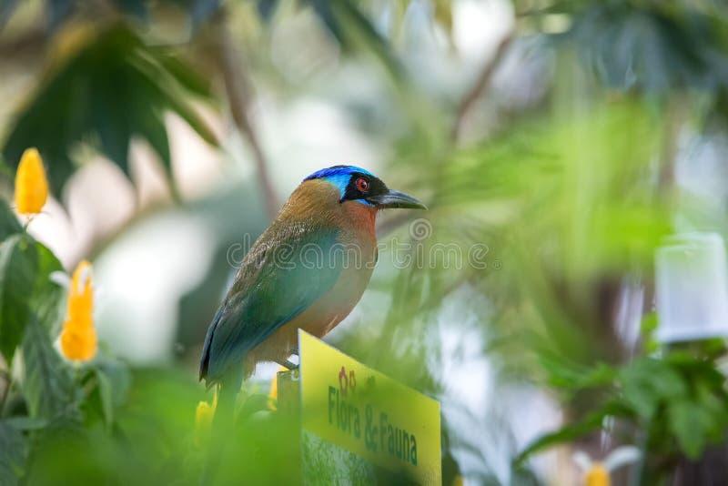 Trinidad Motmot, bahamensis de Momotus, se reposant sur la faune de signe et la flore dans le jardin Végétation verte à l'arrière photographie stock