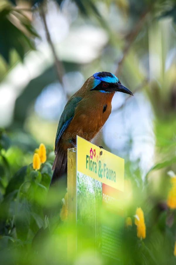 Trinidad Motmot, bahamensis de Momotus, se reposant sur la faune de signe et la flore dans le jardin Végétation verte à l'arrière photo stock