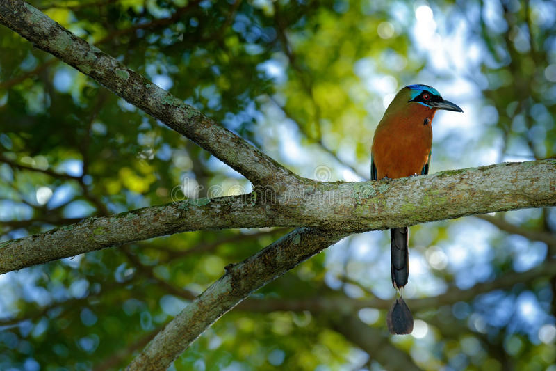 Trinidad Motmot, Momotus bahamensis, exotic bird sitting on the branch, nature forest habitat, Trinidad & Tobago. South America stock photo