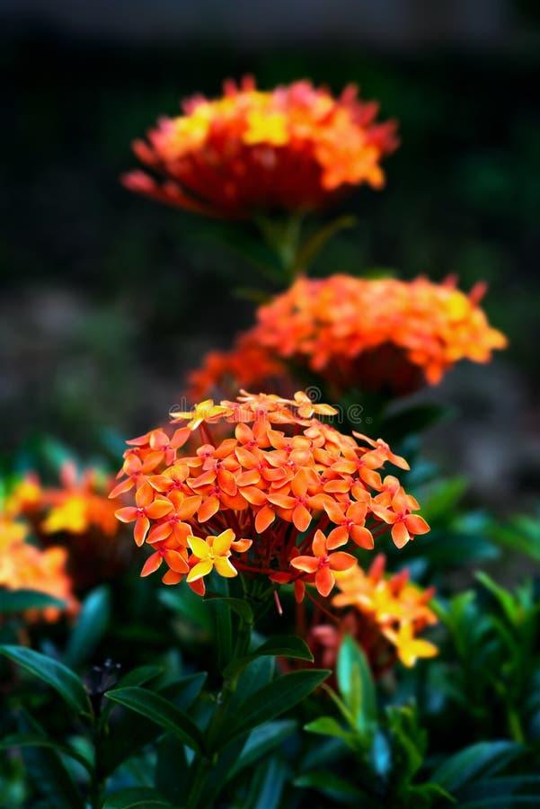 Trinidad och Tobago för blomma för Ixora coccinea tropiskt arbeta i trädgården royaltyfri fotografi