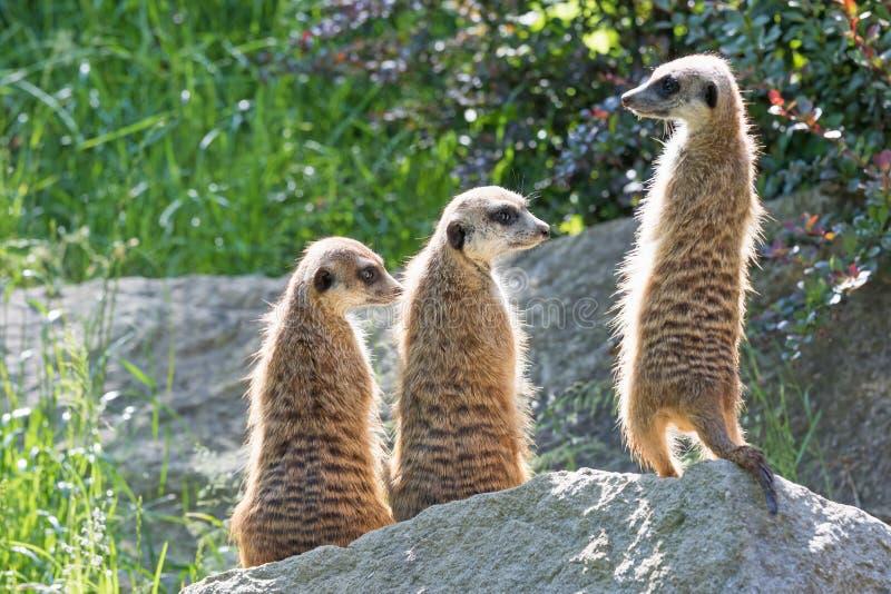 Trinità di Meerkats che si siede su una roccia fotografie stock