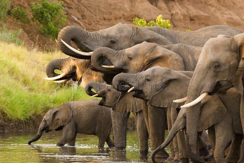 Trinkende Elefantherde lizenzfreie stockfotografie