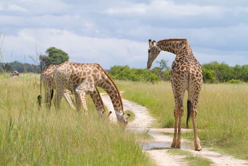 Trinkende Giraffe stockfotos