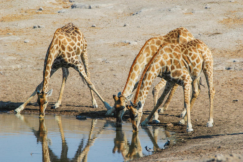 Trinkende Giraffe (Giraffa camelopardalis) lizenzfreie stockfotos