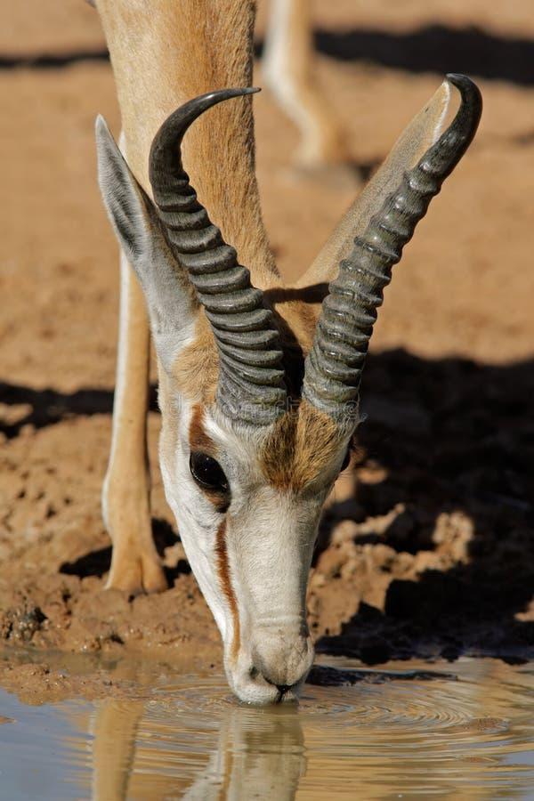Trinkende Springbockantilope stockfoto