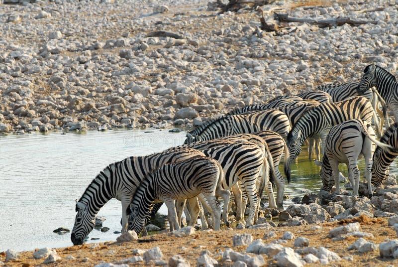 Trinkende Zebras lizenzfreie stockfotografie