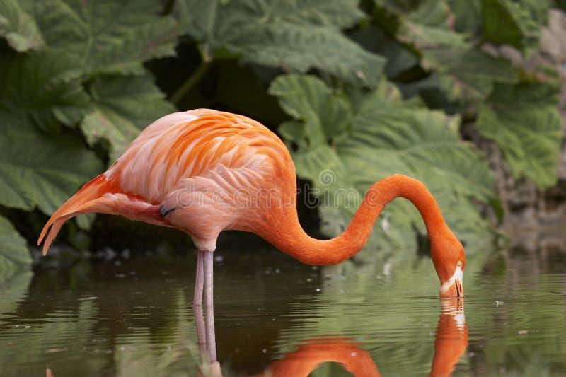 Trinkender Flamingo stockbilder