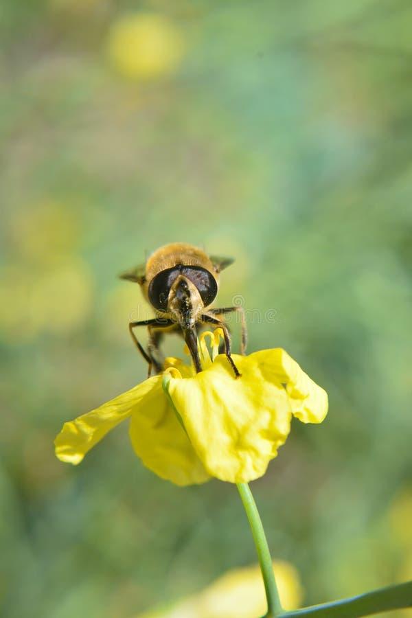 Trinkender Nektar der Biene von der gelben Blume Honig-Biene auf Blume stockfotos