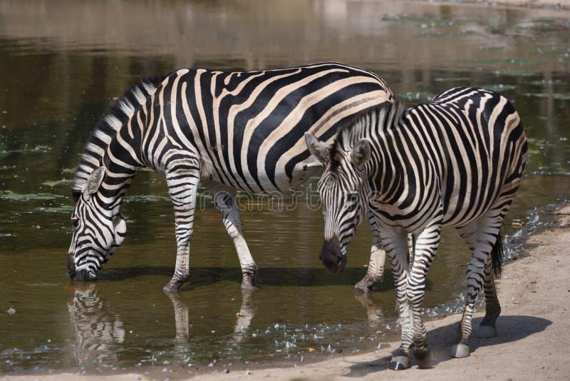 Trinkendes chapmani Quagga Equus Zebras ` s des ambulanten Händlers stockbild