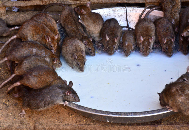 Trinkmilch der Ratten in Tempel Karni Mata lizenzfreies stockbild