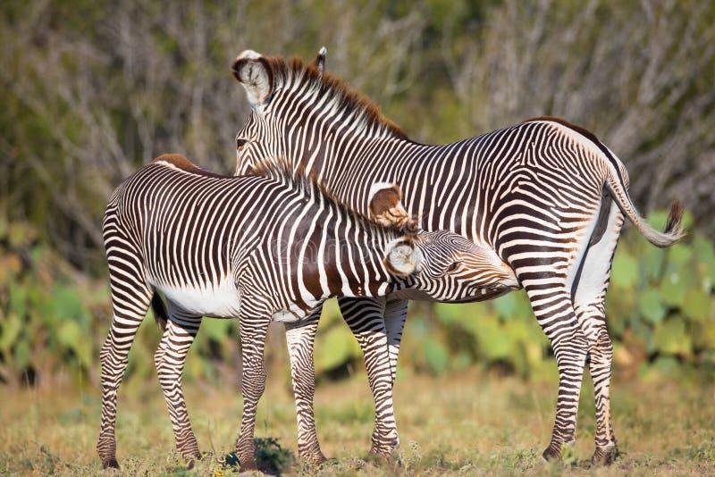 Trinkmilch des jungen Zebras von seiner Mutter stockfotos