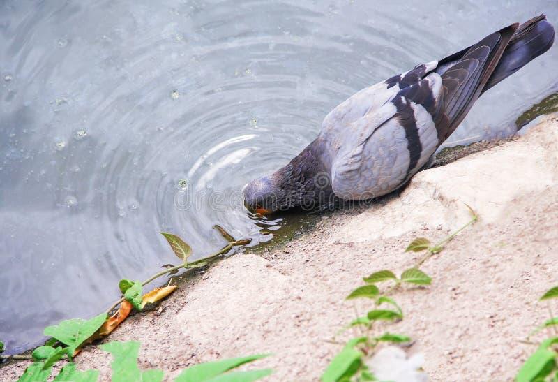 Trinkwasser der einzelnen Taube vom Fluss lizenzfreie stockfotos