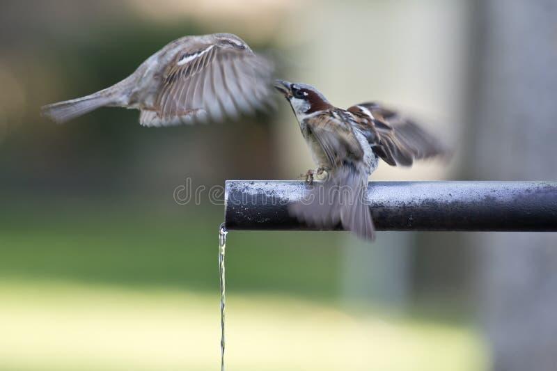Trinkwasser der Spatzen. stockfotografie