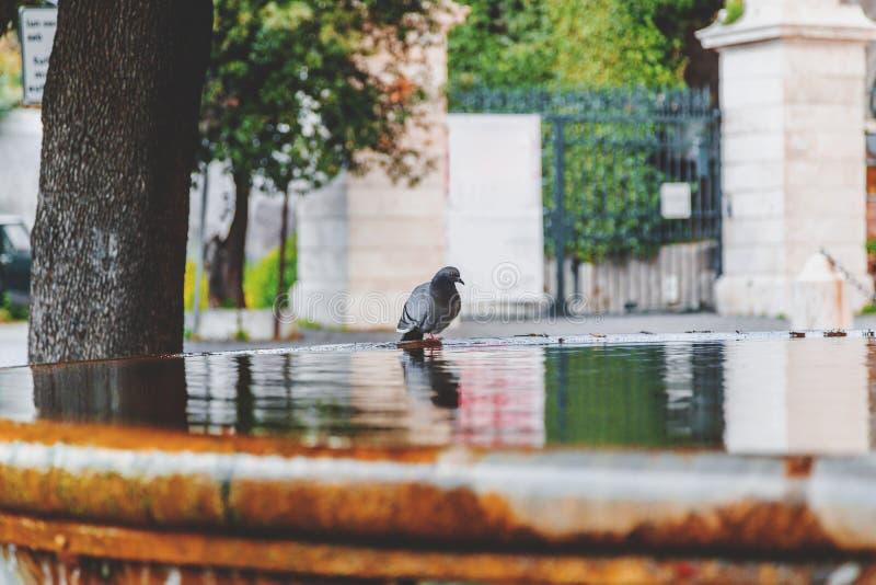 Trinkwasser der Taube auf einem Brunnen stockfotos