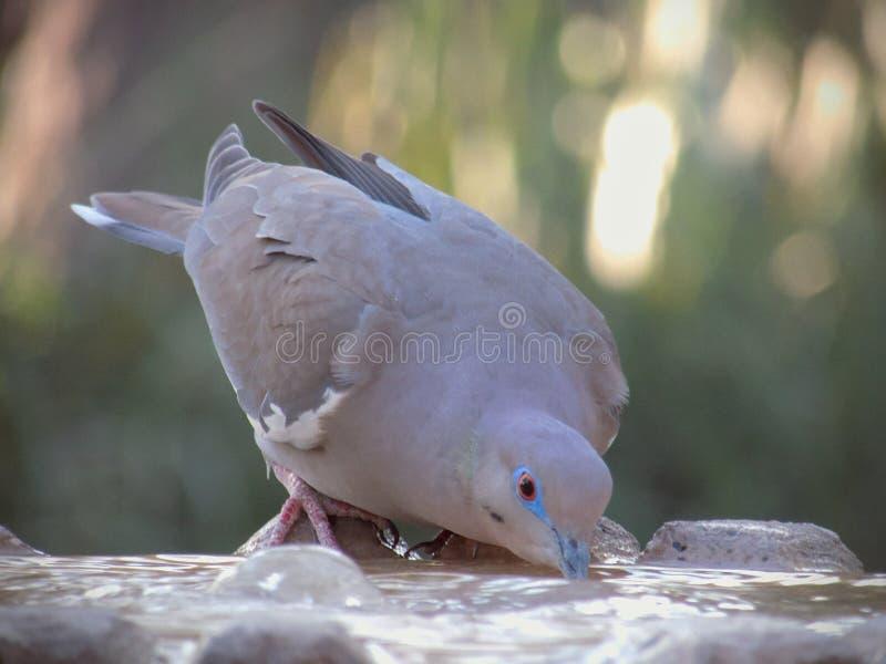 Trinkwasser der Taube von einem Straßenbrunnen an einem heißen Sommertag stockfotografie