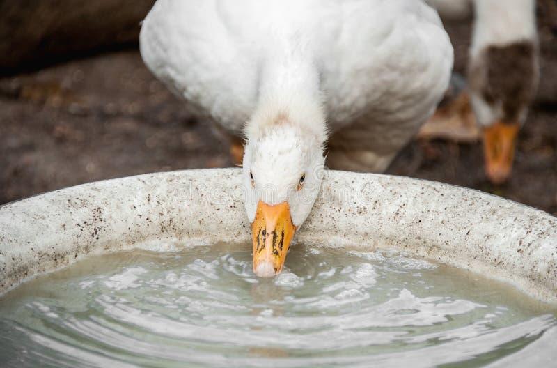 Trinkwasser der weißen großen Gans von den Tellern auf dem Bauernhof stockbild