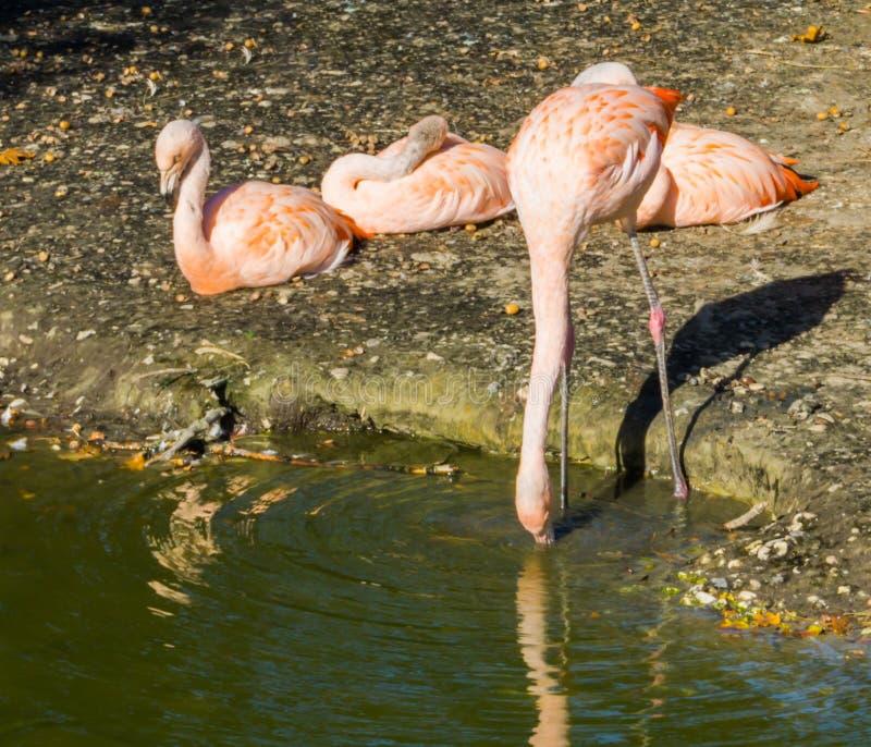 Trinkwasser des durstigen rosa chilenischen Flamingos aus dem See und drei anderen Flamingos heraus, die im Hintergrund sitzen lizenzfreies stockfoto