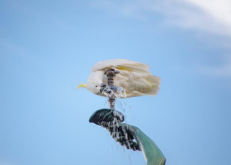 Trinkwasser des Gelbhaubenkakaduvogels vom Brunnen mit blauem Himmel im Hintergrund stockfotos