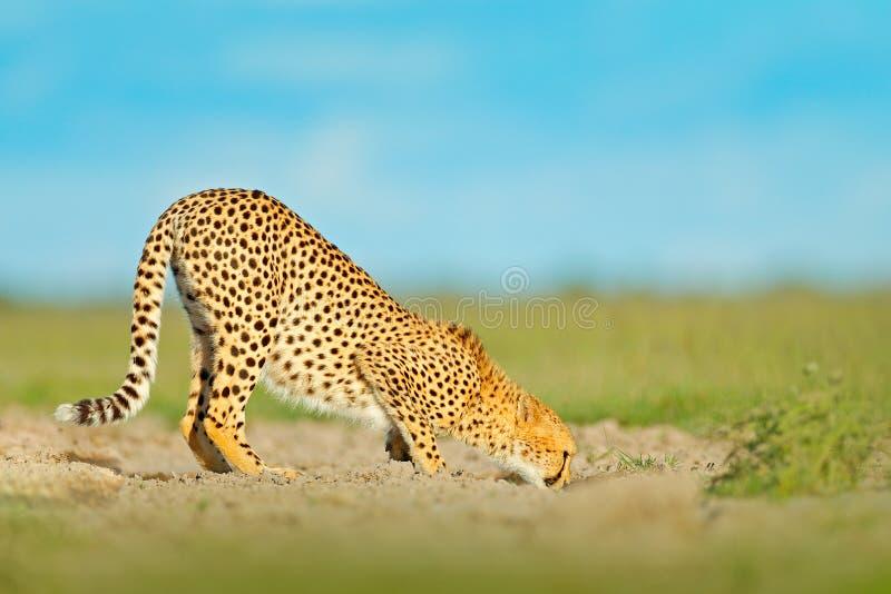 Trinkwasser des Gepards auf Straße Gepard im Gras, blauer Himmel mit Wolken Beschmutzte Wildkatze im Naturlebensraum Szene der wi stockbild