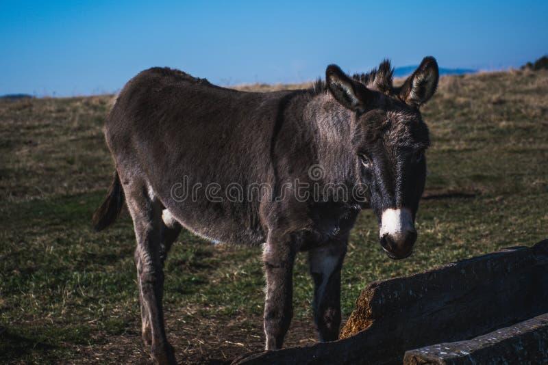 Trinkwasser des jungen Esels auf Feld stockbilder