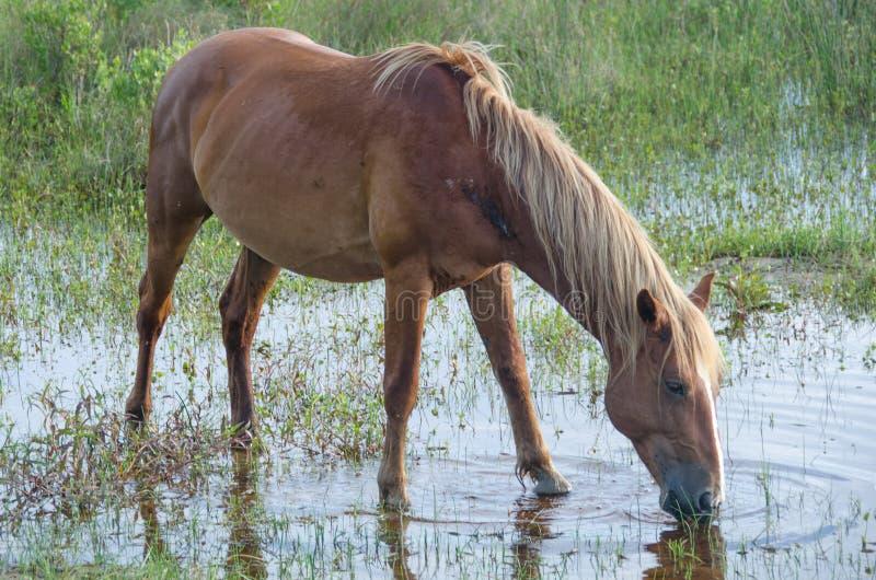 Trinkwasser des wilden Pferds vom Teich stockfoto