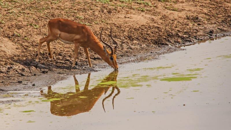 Trinkwasser Impala Ram in Nationalpark Kruger Berühmter Kanonkop Weinberg nahe malerischen Bergen am Frühling stockfotos