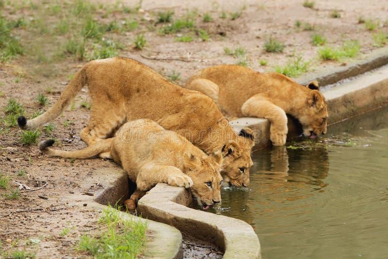 Trinkwasser mit drei Löwejungen lizenzfreies stockfoto