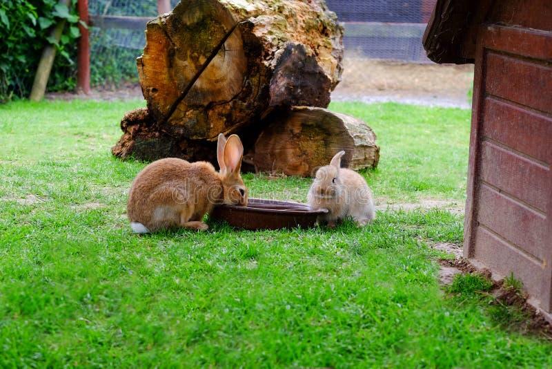 Trinkwasser mit zwei braunen Kaninchen im Garten lizenzfreies stockfoto