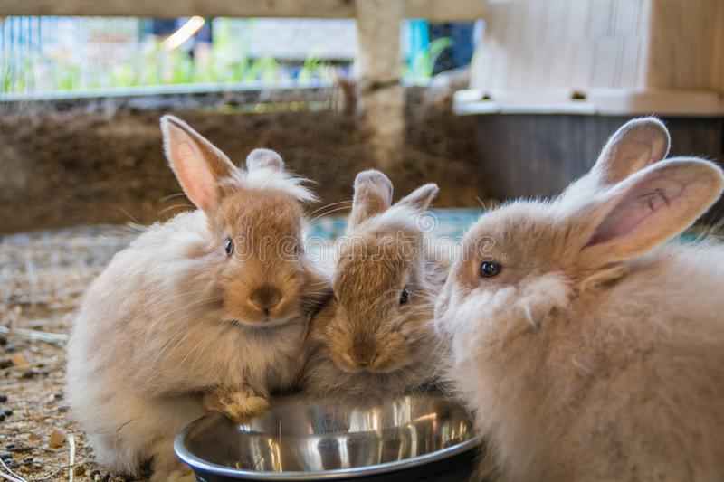 Trio of adorable fluffy bunny rabbits eating out of silver bowl at the county fair. Adorable fluffy bunny rabbits eating out of same silver bowl at the county stock photo