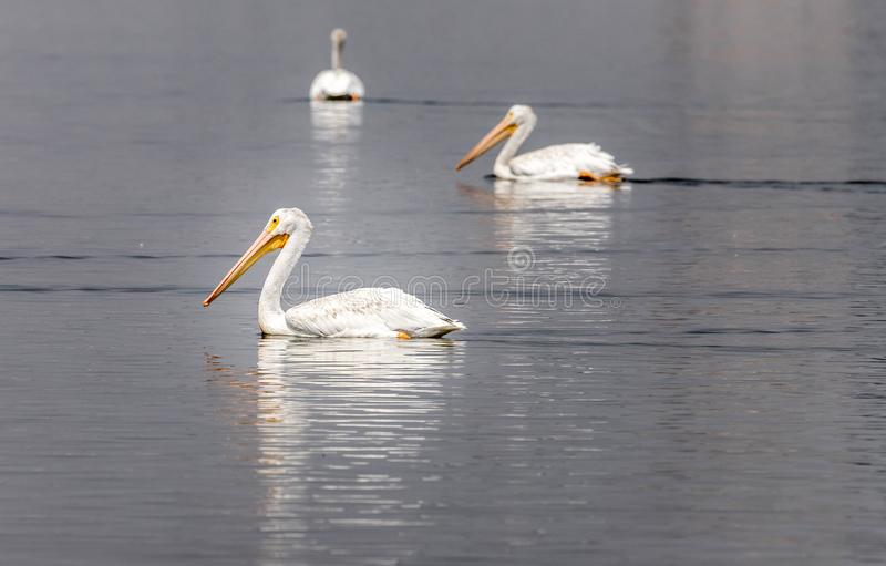 A trio of American white pelicans floating on a Northeastern Colorado lake. A trio of American White Pelicans floating on a small Colorado lake under a hazy royalty free stock photography