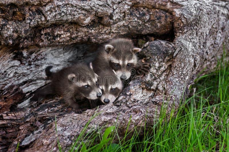 Trio av Baby tvättbjörnar (Procyonlotor) i besegrat träd royaltyfri foto