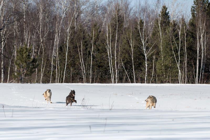 Trio av Grey Wolves Canis lupuskörningar till och med fält royaltyfri fotografi