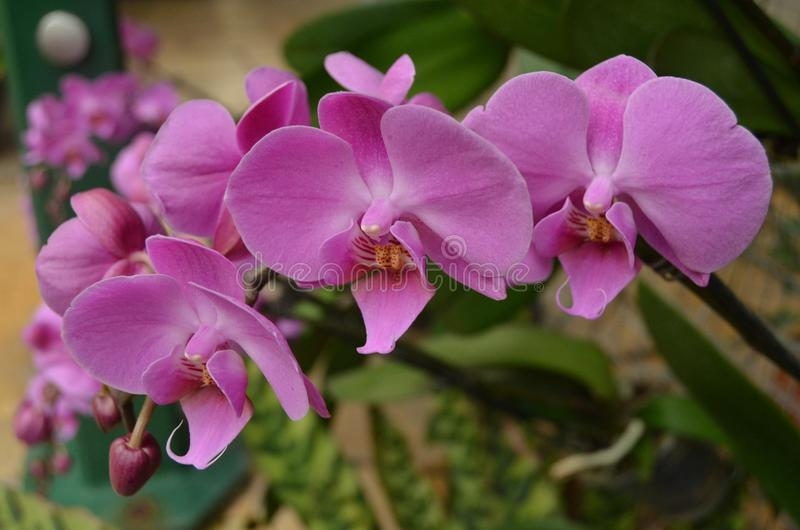 A Trio of Bright Pink Orchids. A group of bright pink orchids in a tropical garden stock photo