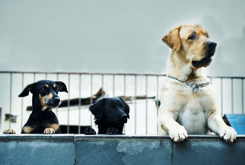 Trio Canino imagem de stock
