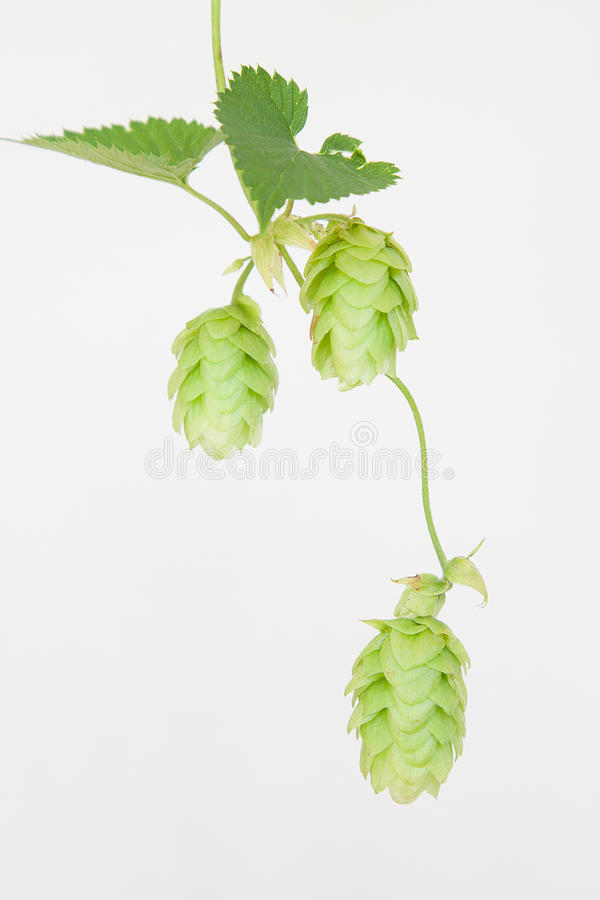 Download Trio Of Cascade Hops On Isolated White Background Stock Photo - Image of ingredient, lupulus: 28037042